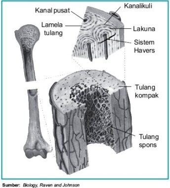 Struktur-Tulang-Keras