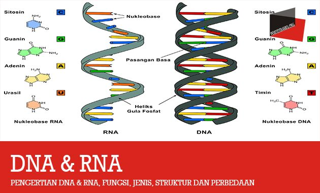 Pengertian DNA & RNA
