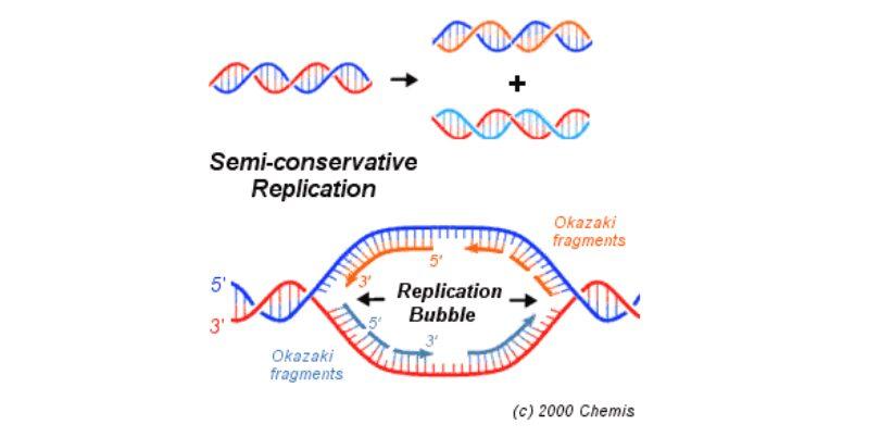 Replikasi-DNA