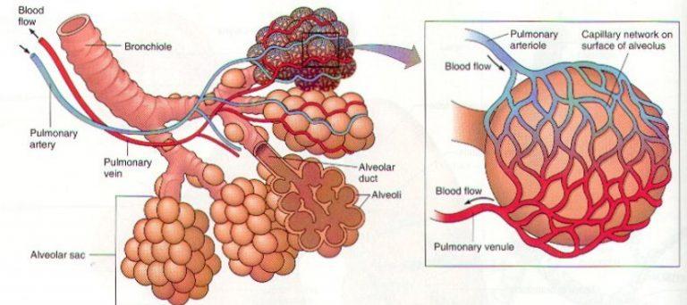 Ciri-Alveolus