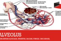 Pengertian Alveolus