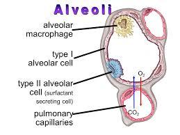 Sel-Alveolus