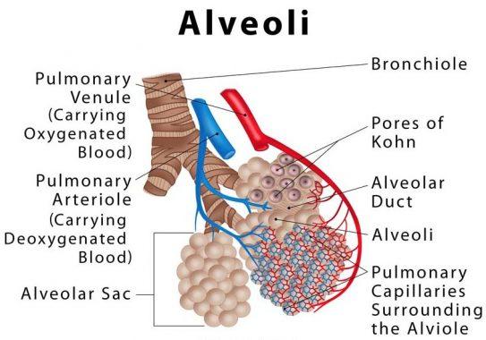 Struktur-Bagian-Alveolus