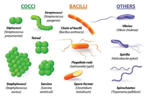 Klasifikasi-Bakteri