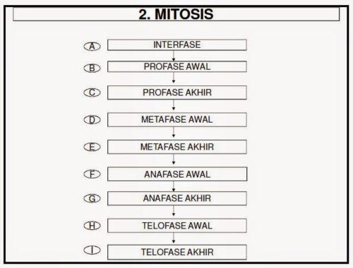 Tahap-mitosis1