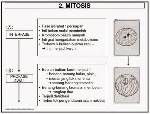 Tahap-mitosis2