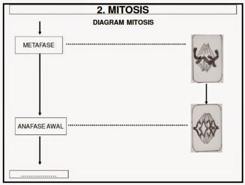 Tahap-mitosis9