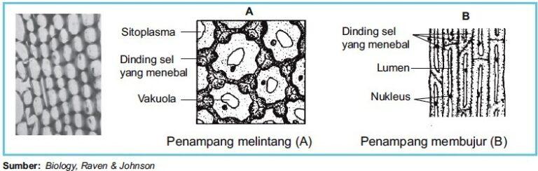 Struktur-jaringan-kolenkim